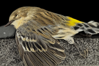 Myrtle Warbler, Side, dc_2014-05-06-14.01.39 ZS PMax   by Sam Droege