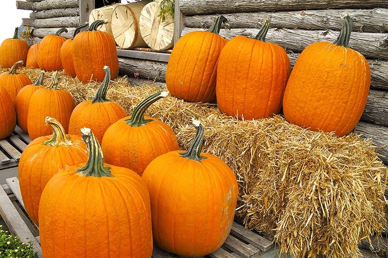 Pumpkins at Salt Spring Island Fall Fair, Salt Spring Island, Gulf Islands, British Columbia