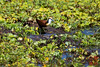 African Jacana (Actophilornis africanus) by DragonSpeed