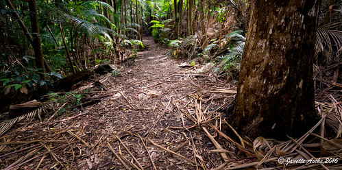 trees panorama forest palms rainforest track path pano australia trail bark qld queensland sunshinecoast mapleton 2016 hinterland blackallrange seqld