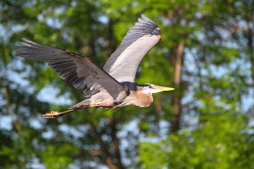 great blue heron greatblueheron richmondgreen birdinflight flight
