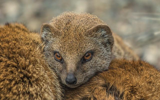Yellow Mongoose Loves Cuddling