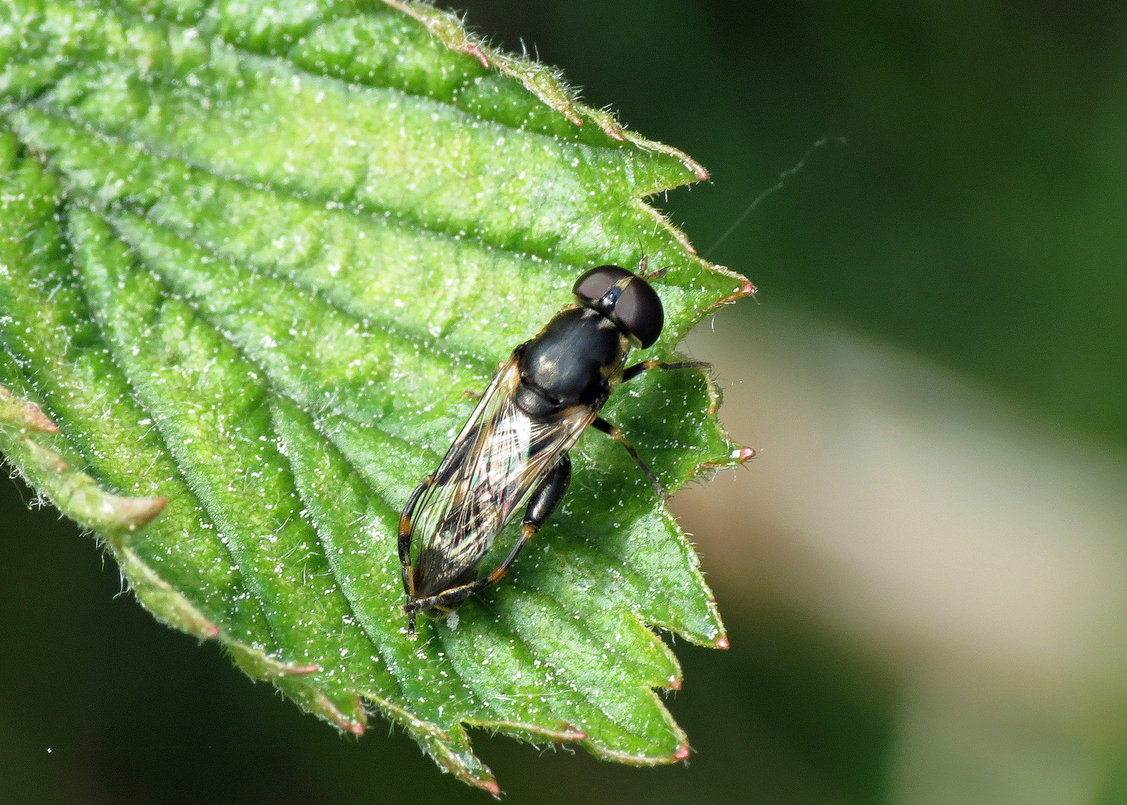 Hoverfly - Syritta pipiens ?