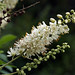 Sweet Pepperbush - Photo (c) Tom Potterfield, some rights reserved (CC BY-NC-SA)