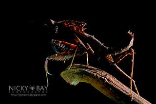 Dead Leaf Mantis (Deroplatys sp.) - DSC_3122 | by nickybay