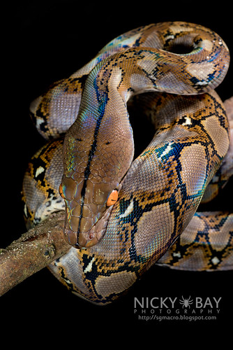 Reticulated Python (Broghammerus reticulatus) - DSC_7357 | by nickybay