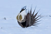 036014-IMG_6723 Greater Sage-grouse (Centrocercus urophasianus) by ajmatthehiddenhouse