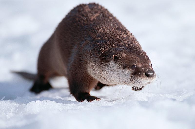 Wildlife in British Columbia, Canada: River Otter