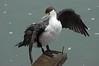Pied shag - Phalacrocorax varius by Maureen Pierre