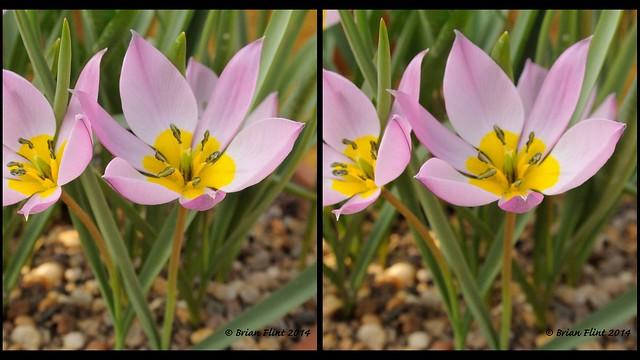 Tulipa humilis - 3d parallel view
