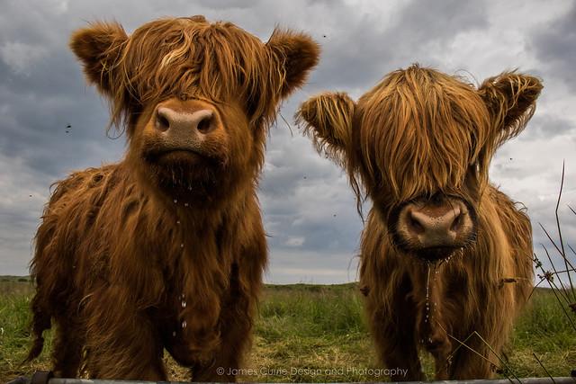 Highland Coo's