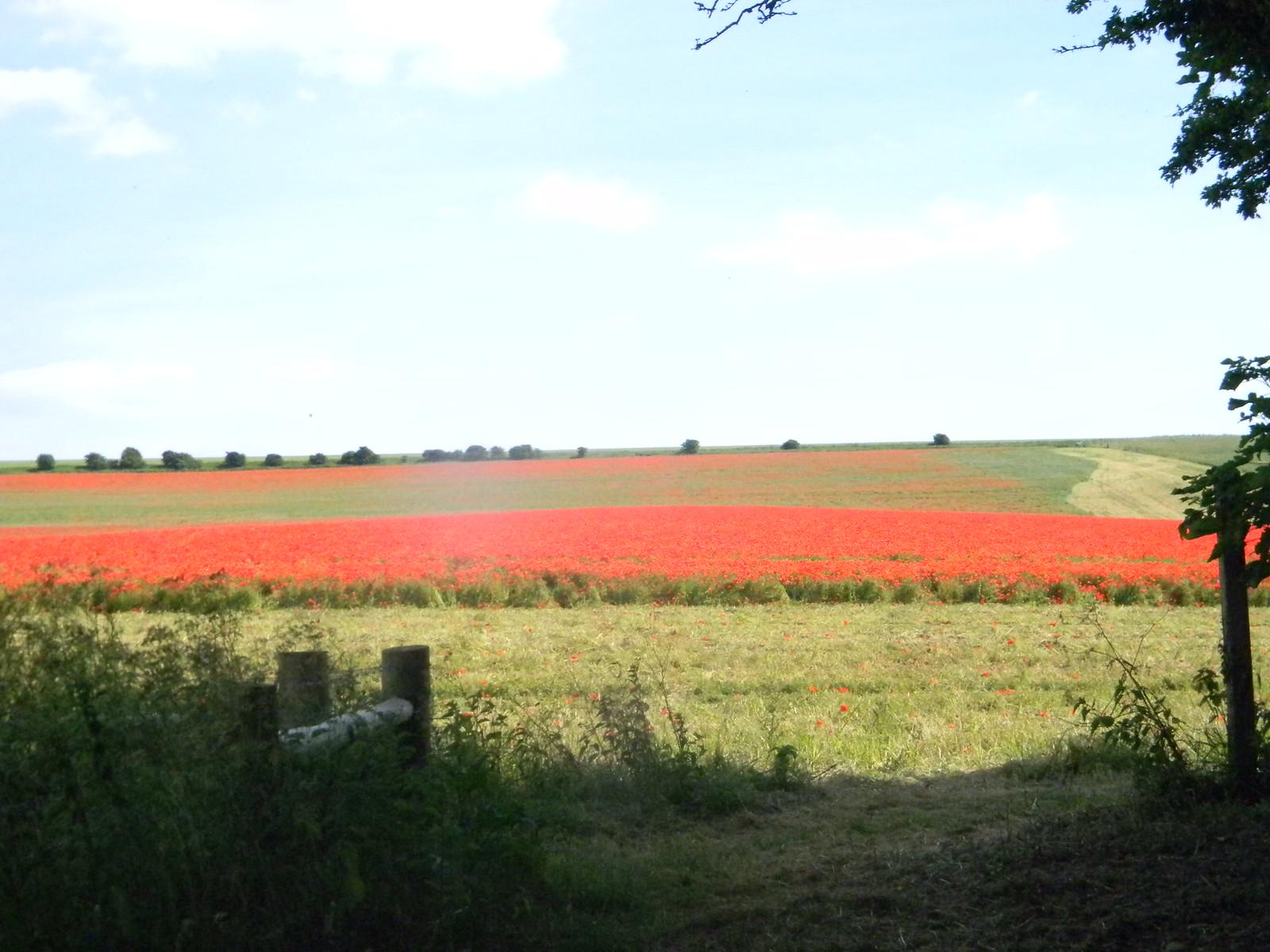 Poppy field near Falmer Hassocks to Brighton