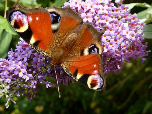 Peacock Butterfly on Purple Buddleia (27/07/2013)