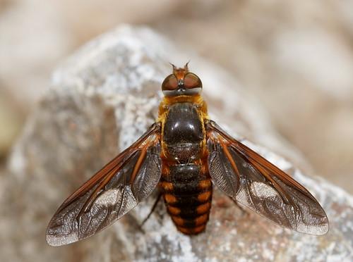 insect diptera fly bombyliidae anthracinae poecilanthrax poecilanthraxeffrenus beefly arizona fieldtrip bugguidegathering2013 canonef100mmf28macrousm eol fridayflyday explore