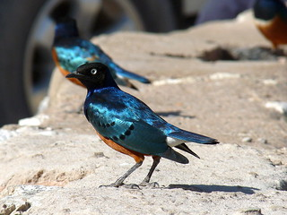 06. Choucador superbe - Lamprotornis superbus - Superb Starling | by notjes1966