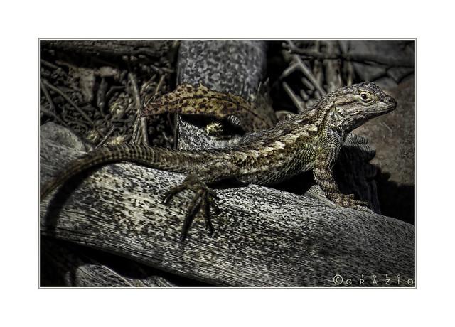 Lizard on dead branch