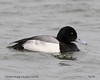 Greater Scaup by AndrewWood15101