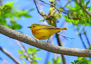 -Warbler-Yellow-Grand Island, NE | by Tricolor Brian