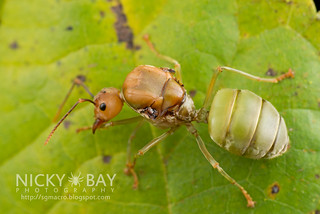 Ant (Oecophylla smaragdina) - DSC_9514