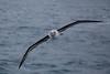Grey-headed Albatross by Niquinho