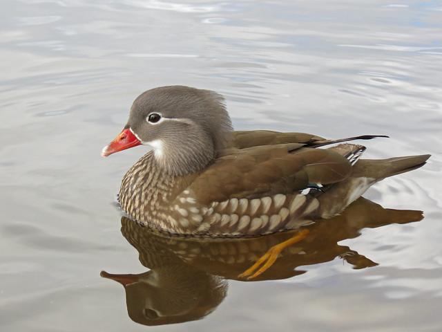 Mandarin Duck, River Leven, Scotland