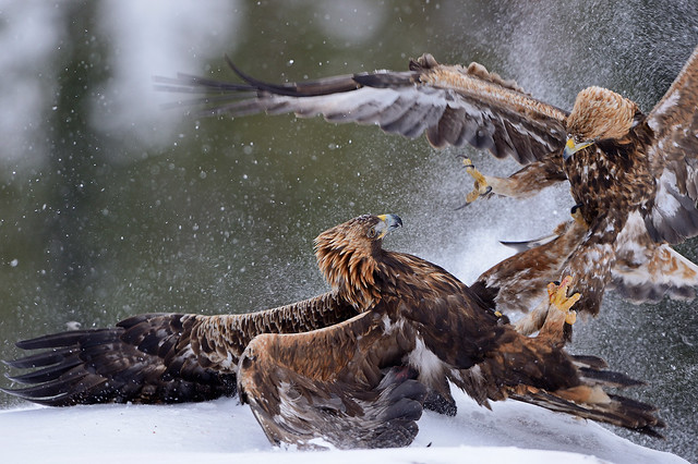Golden Eagles in Action - photography tour