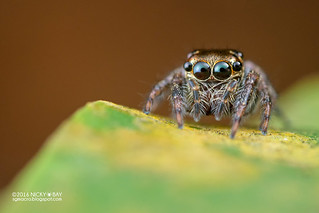 Jumping spider (Pancorius sp.) - DSC_3256