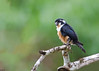 Black-thighed Falconet - Microhierax fringillarius by Andy_LYT