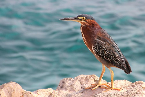 Green Heron | by Frans.Sellies