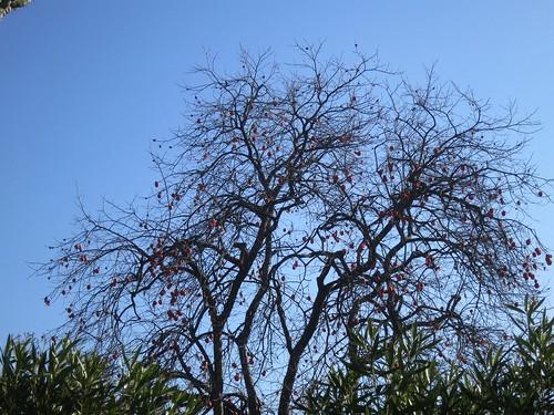 Birds Dining on Persimmons