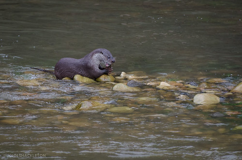 Otter / Nutria (Lutra lutra) | by john_shackleton