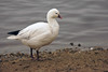 Ross's Goose (Chen rossii or Anser rossii) , Martin Mere, Burscough, Lancashire by Gidzy
