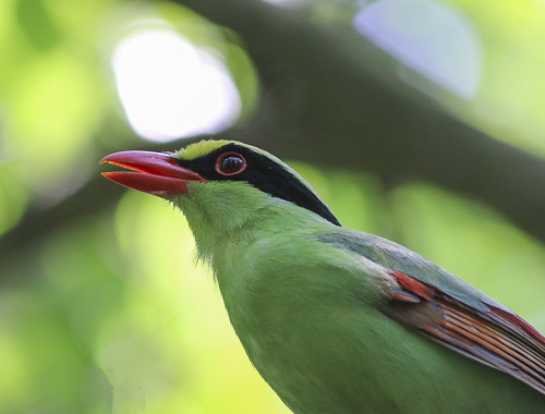 Common Green Magpie   by Fakrul Mamun( Noyel)