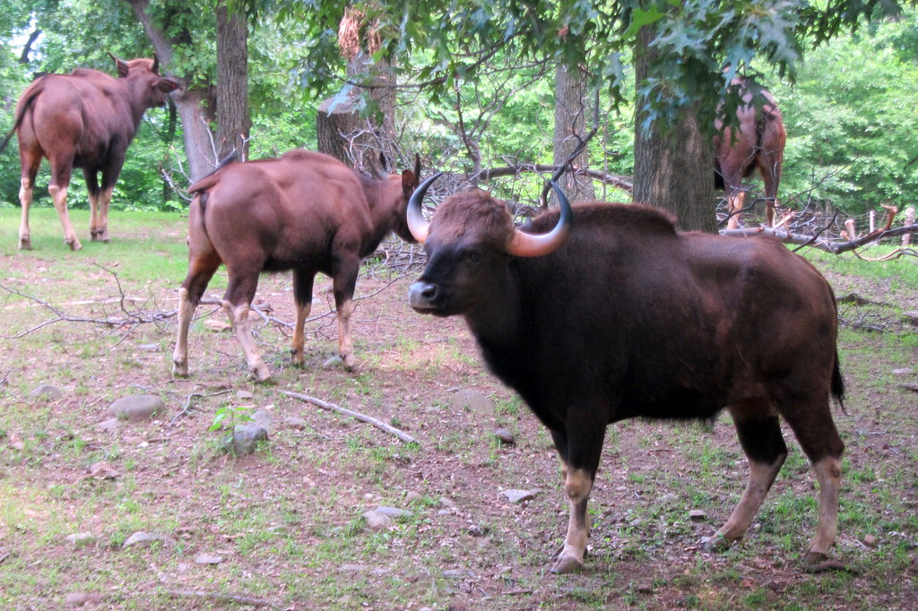 Bronx Zoo Gaur The Gaur Also Called The Indian Bison I Flickr