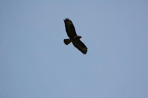 Buzzard almost overhead, Compton Park