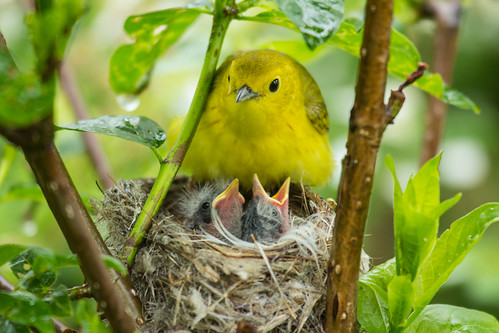 Yellow Warbler and chicks