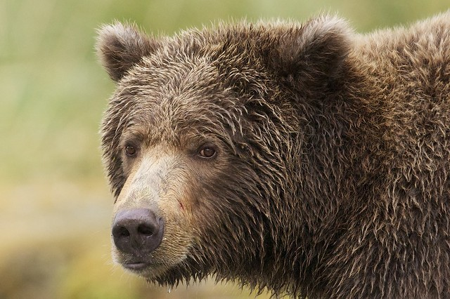 Grizzly's Face