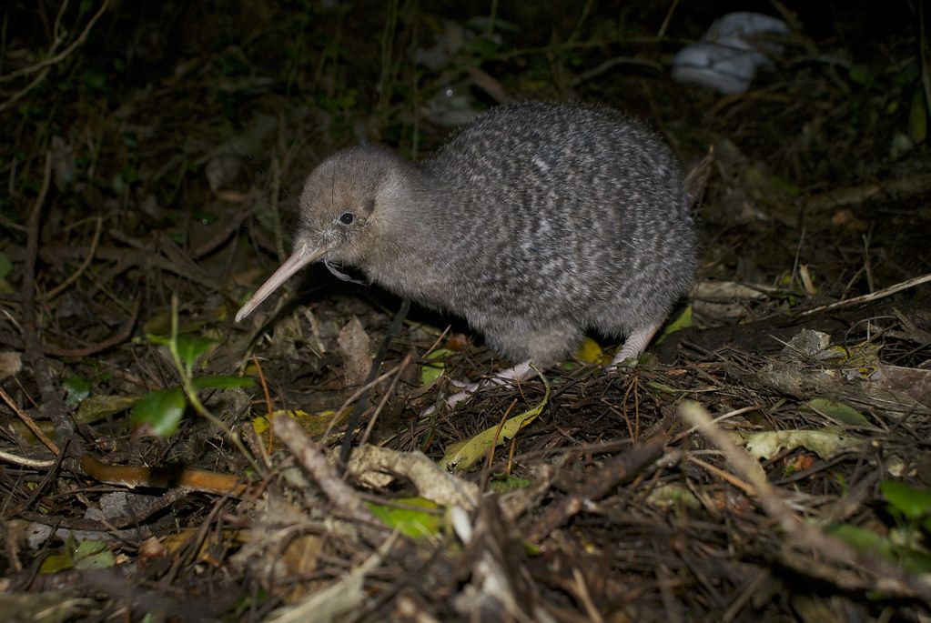 Image result for kiwi bird