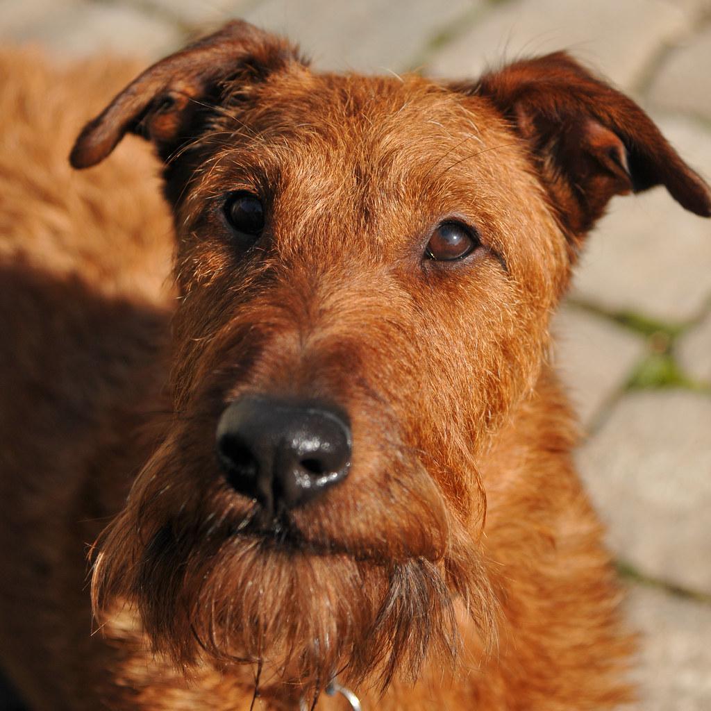 James the Irish terrier | /Bas | Flickr