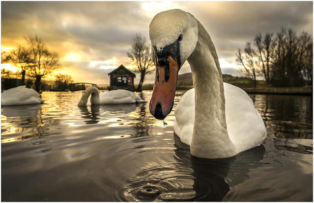 swans at llangorse