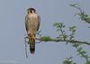 Red-necked Falcon  /Rödhuvad falk (Falco chicquera) by Hans Olofsson