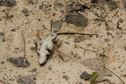 batonrouge lizards phrynosomatidae fence lizard prairielizard fencelizard sceloporus sceloporusconsobrinus sceloporusundulatus