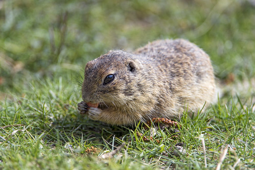 European ground squirrel eating in the grass | by Tambako the Jaguar