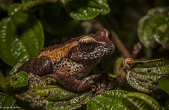 Philautus spp. Sri Lanka, photo James T. Reardon-3533