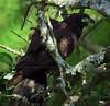 Hook-billed kite (Chondrohierax uncinatus) @ Home by Daniel Mclaren .:. Naturalist Guide CR