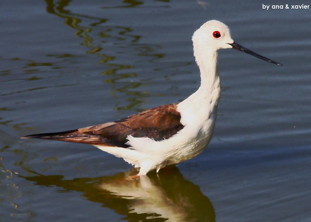 Pernilongo, Black-winged stilt (Himantopus himantopus) - em Liberdade [in Wild]