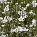 Flickr photo 'Cerastium arvensis CF11 Y512-S010' by: Sarah Gregg | Italy.