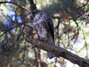Aguilucho chico, Buteo albigula, White-throated hawk by ANTONIO EMN