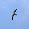 Swallow-tailed Kite/Gavião-tesoura/Elanio tijereta (Elanoides forficatus) by Héctor Bottai