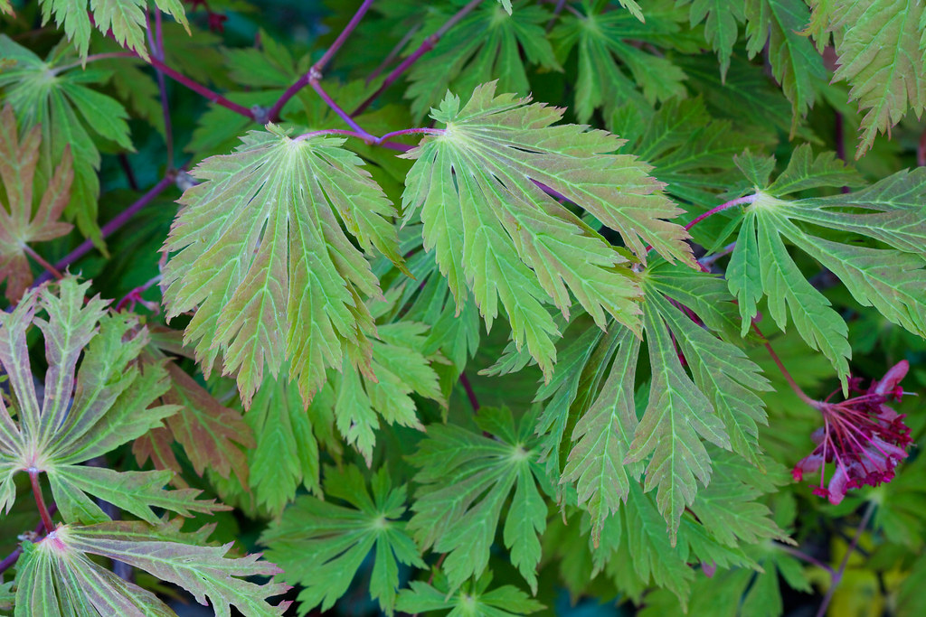Spring Leaves And Fruits Acer Japonicum Aconitifolium The Flickr